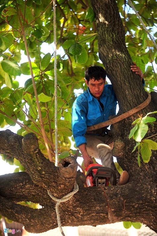 Cây sau khi chặt hạ sẽ được lập biên bản xác định tuổi gỗ, tập trung về kho tại Kim Trung (Đông Anh, Hà Nội) và sẽ tiến hành đấu giá và xử lý theo quy trình của thành phố, ông Toàn nói.