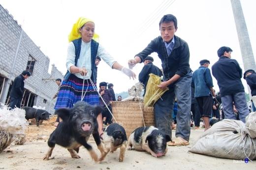Những chú lợn cắp nách khỏe mạnh là tài sản lớn đối với người dân nơi đây, chúng được buộc dây ngang bụng để rao bán.