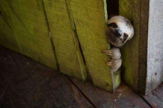 Ánh mắt ngây ngô của bé lười được chụp hôm 20-5-2014 tại một nhà nổi vùng Lago do Janauari, gần thành phố Manaus, Brazil. Chủ ngôi nhà đã bắt được nó nhưng cho biết nó quá dễ thương nên nuôi nó trong vài tuần trước khi thả về môi trường tự nhiên - Ảnh: FELIPE DANA-AP