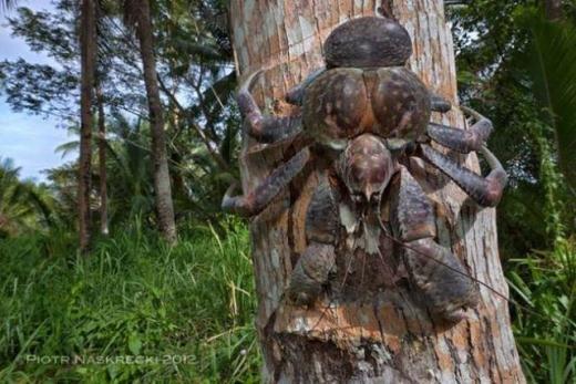 Loài cua dừa khổng lồ là loài chân đốt sống trên cạn lớn nhất thế giới khi trưởng thành có thể dài đến 1 mét và nặng 4 kg. Cua dừa tồn tại nhiều nhất trên đảo Christmas, thuộc đông bắc Ấn Độ dương. Loài này thường leo lên cây dừa và ăn quả dừa bằng cách bổ vỏ và ăn cơm dừa.