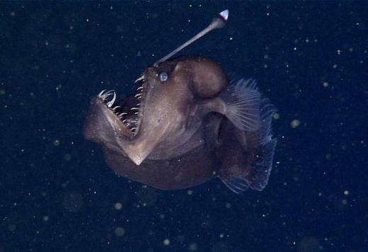 """Học viện Nghiên cứu Thủy sinh Vịnh Monterey (MBARI) đã bắt được những hình ảnh mà họ cho là lần đầu tiên về con cá nhám dẹp cái còn được mệnh danh là Black Seadevil trong môi trường sống tự nhiên của nó. Với bộ hàm mở rộng nên nó được đặt tên là """"cá đuối hai mõm đen"""" – con vật dường như khiến bạn liên tưởng đến nhân vật trong bộ phim """"Đi tìm Nemo"""". Đây là loài cá vô cùng nhút nhát với vẻ ngoài đáng sợ chuyên sống ở vùng nước sâu, tối tăm. Chúng mới chỉ được trông thấy 6 lần qua những thước phim trong lịch sử ở vùng nước sâu ngoài khơi bờ biển California."""
