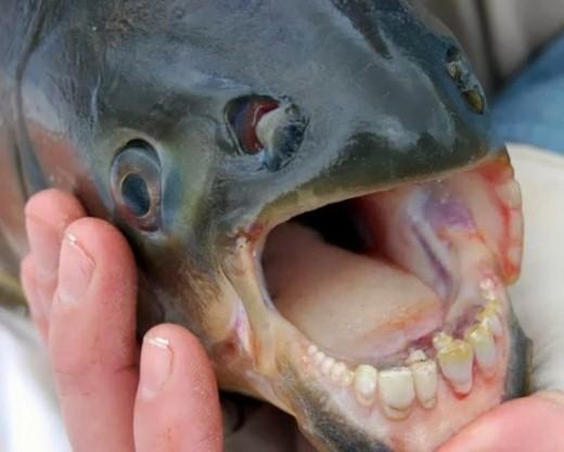 Pacu là một loài cá nước ngọt Nam Mỹ được tìm thấy trong hầu hết các sông suối ở lưu vực sông Amazon và Orinoco của vùng đồng bằng Amazon. Đây là loài sinh vật có hàm răng giống người, ăn tạp, và thức ăn yêu thích là hoa quả và các loại hạt. Bộ răng của Pacu được cảnh báo là rất nguy hiểm đối với con người. Loại cá này có thể khiến nhiều đàn ông khiếp sợ vì chúng có thể cắn đứt tinh hoàn của họ.