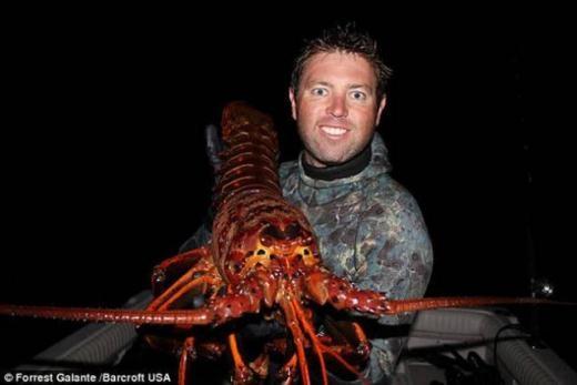 Forrest Galante, nhà sinh vật học đã bắt được một con tôm hùm gai đỏ với trọng lượng khoảng 5,4 kg trong vùng biển California, Mỹ.