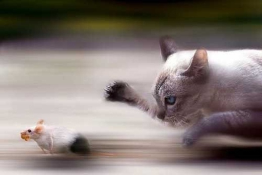 Mèo và chuột ai chạy nhanh hơn.