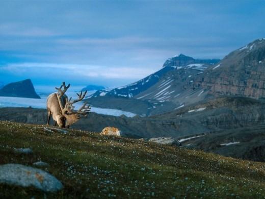 Svalbard: Đã đến Na Uy thì phải đi ngắm tuần lộc. Bạn có thể tới vùng Svalbard và biết đâu sẽ gặp được gia đình Sven.