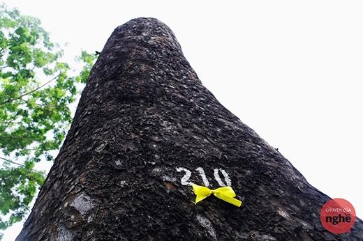 Ruy băng vàng vĩnh biệt hàng cây cổ thụ ở Sài Gòn