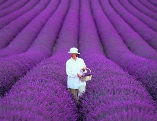 Cánh đồng hoa ở Provence, Pháp