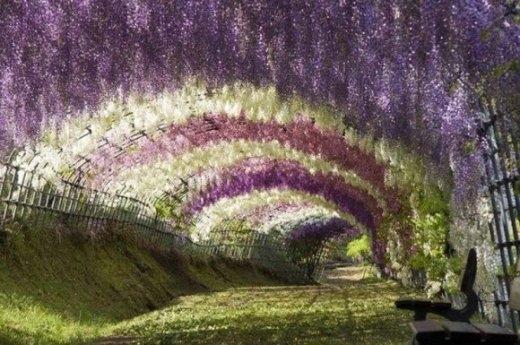 Vườn hoa tử đằng ở Kitakyushu, Nhật Bản