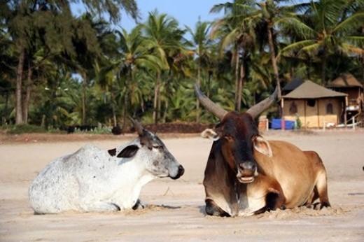 Bãi biển bò, Goa (Ấn Độ): Ở Ấn Độ, bò là con vật cưỡi của Thần Shiva, được coi là loài động vật thần thánh, người ta kính trọng bò như tôn kính thần. Bãi biển bò rất được ưa chuộng, nơi đây du khách có thể thường xuyên thấy những chú bò nằm sưởi nắng một cách thư thái cùng con người.
