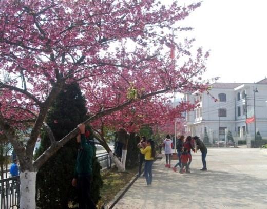 Ở những vùng thấp hơn, hoa anh đào càng nở rực rỡ hơn, thu hút rất nhiều du khách đến xem và chụp ảnh.