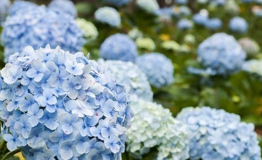 Loài hoa đặc trưng, cẩm tú cầu đang khoe sắc trên thành phố ngàn hoa - Ảnh: Dzung Nguyen