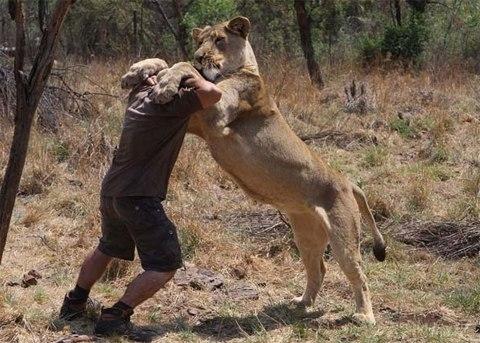 Tròn mắt xem người đàn ông vui đùa với sư tử châu Phi