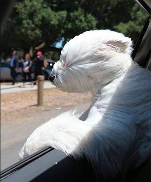 Beast thưởng thức làn gió mát từ cửa sổ xe hơi.