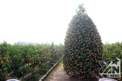 Cây quất to nhất vườn có giá khoảng 25 triệu.