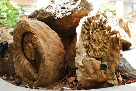 Mẫu ốc hóa thạch được ông Hùng sưu tầm. Ảnh: Như Quỳnh.
