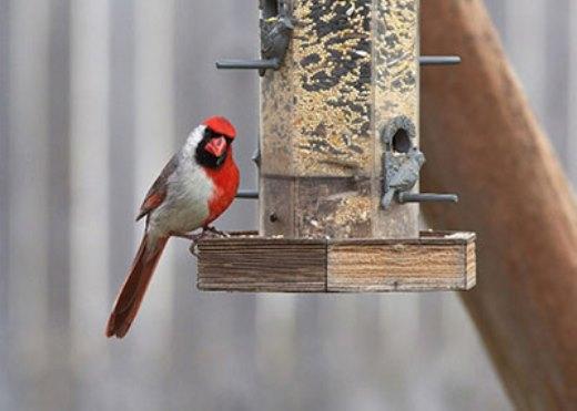 Chú chim nửa đực nửa cái với màu lông 2 màu kì lạ.