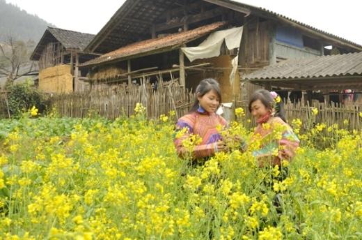 Ngỡ ngàng cảnh đẹp ngoạn mục của hoa cải ở Lào Cai