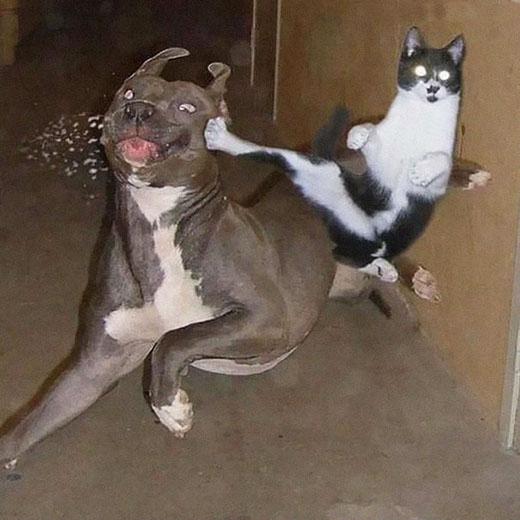 Khi loài mèo tung cước...