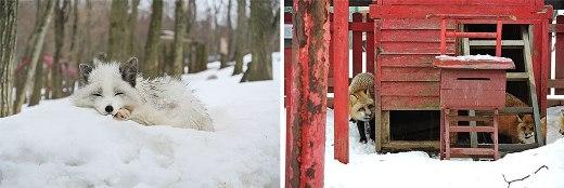 Siêu đáng yêu với ngôi làng cáo ở Nhật Bản