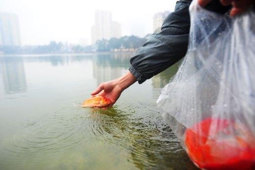 Còn cá chép sống, người dân mang thả ra sông hồ. Năm nay, các hồ ở Hà Nội như Hoàn Kiếm, Ngọc Khánh, Thành Công... đều có người đứng nhắc nhở người dân giữ vệ sinh, nên môi trường có phần được cải thiện.