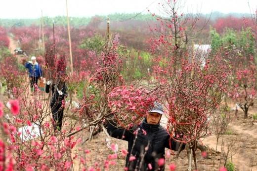 Chị Hương, một người làm vườn cho biết, mọi người đang tất bật vận chuyển đào khỏi vườn, đảm bảo bán hết trước ngày 1 Tết.