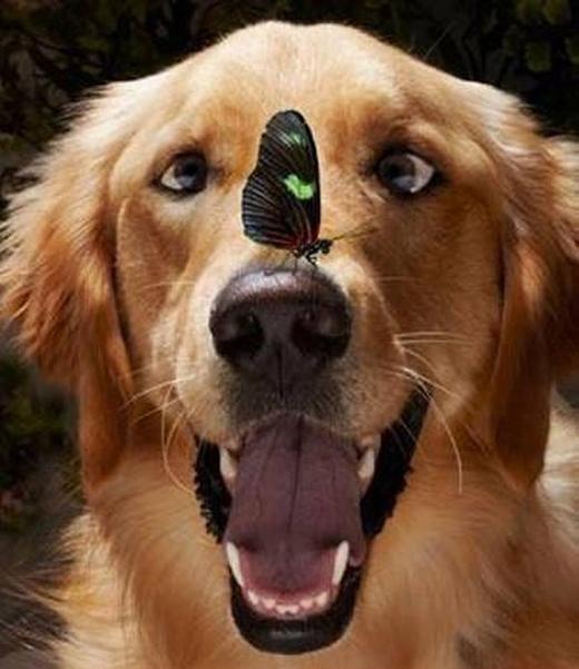 Hội những chú chó sẽ nhanh lé mắt khi thấy...bướm.