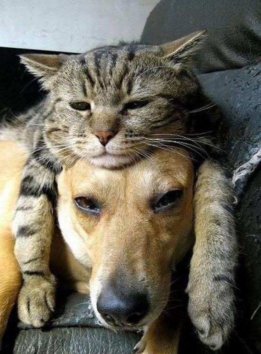 Khi mèo coi chó là... gối ôm