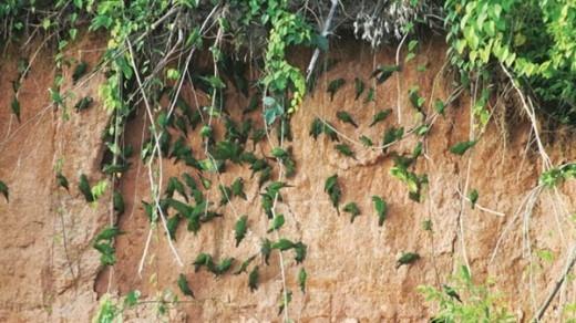 Chim ở Amazon.