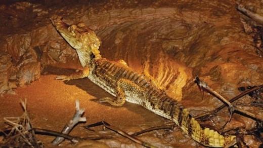Cá sấu bên sông Amazon.