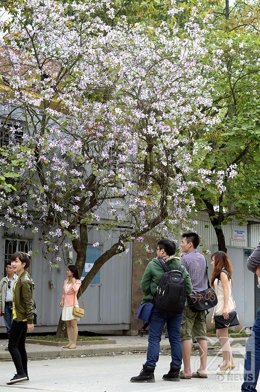 Cứ vào cuối tháng 2 - đầu tháng 3, hoa ban lại mọc trắng 2 bên đường Bắc Sơn.