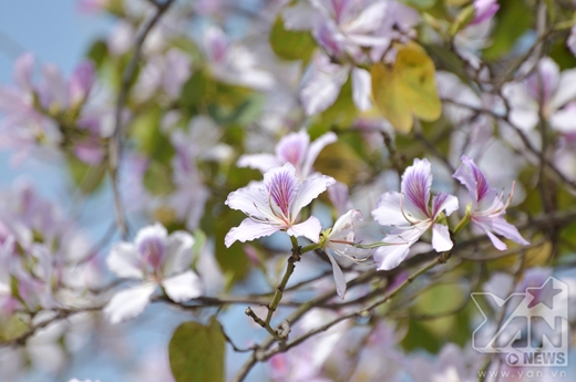 Giới trẻ Hà thành háo hức đi chụp ảnh hoa ban nở rộ