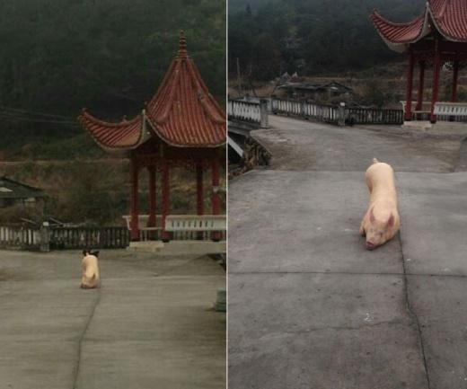Bí ẩn chú lợn bỏ trốn, quỳ lạy hàng tiếng trước cổng chùa