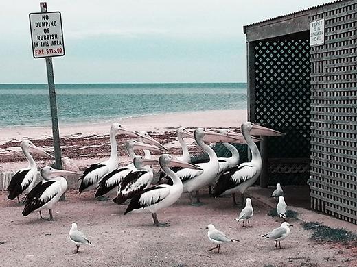 """Những chú bồ nông cư trú trên cảng Vincent ở bán đảo Yorke (Nam Úc) đang chờ đợi được """"thiết đãi"""" các bộ phận bỏ đi của cá."""