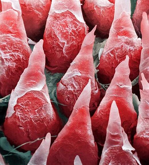 Hình ảnh siêu hiển vi của lưỡi người