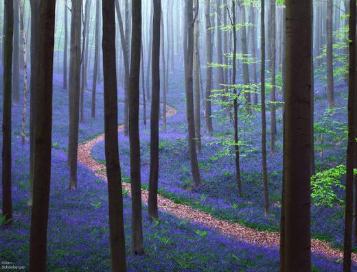 Rừng Hallerbos ở Bỉ trải màu xanh tím mộng mơ của loài hoa chuông xanh.