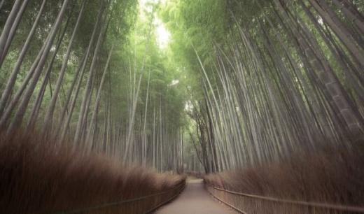 Rừng tre nổi tiếng ở Arashiyama, Nhật Bản.