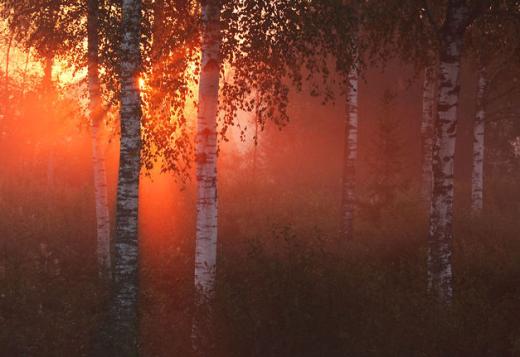 Rừng bạch dương đón nắng mai ở khu bảo tồn thiên nhiên Lower-Pedja, Estonia.