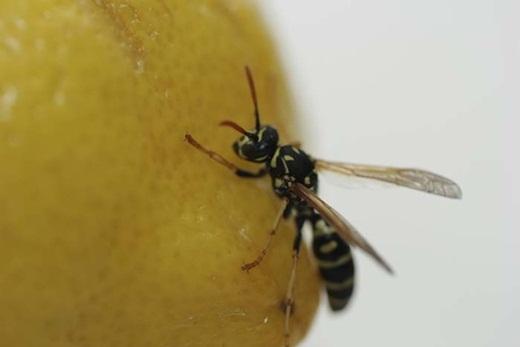 Làm dịu cơn đau ở vết thương do ong đốt bằng cách nhỏ 1 giọt nước chanh lên.
