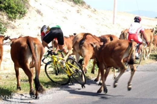 Đoàn đua bất ngờ bị đàn bò cản trở, ngã văng vào lề đường tại giải xe đạp Cup truyền hình 2011 từ Vũng Tàu đi Phan Thiết.