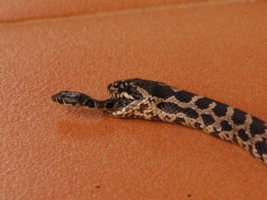 Con rắn nhỏ đang bò ra từ miệng rắn to. Ảnh: National Geographic.
