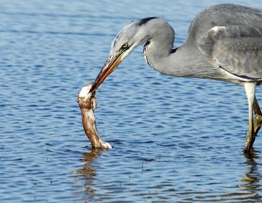 Trước đó, Forgham đang tiến hình chụp ảnh đàn cú thì tình cờ phát hiện một con chồn khiêu khích tấn công chim diệc và bị nuốt chửng.