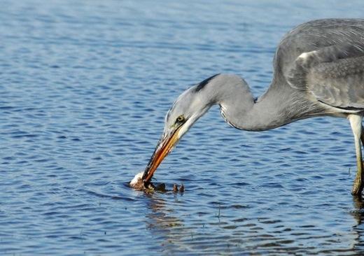 Forgham miêu tả: Tôi thấy con chồn ban đầu là bên tấn công trước và con chim diệc chỉ cố gắng đuổi nó đi chứ không có ý định ăn thịt con chồn.