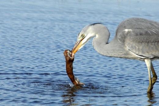 Nhưng do con chồn quá hung hăng và cắn vào người con diệc , đã khiến con chim tức giận và ngậm lấy con chồn, bay xuống ao.