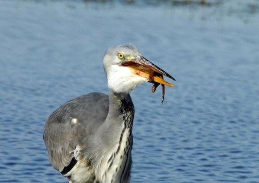 Theo các chuyên gia, chim diệc thường chỉ ăn những sinh vật nhỏ như vịt con và rắn. Nhưng đây là trường hợp hiếm hoi mà nó ăn một con vật có kích thước to như con chồn.