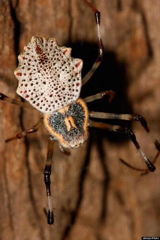 Kì lạ loài nhện tự cắt cơ quan sinh dục sau khi giao phối