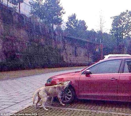 Các con chó hoang đã nhai thân xe, kính chắn gió... khiến phần trước của xe ô tô bị méo mó một cách đáng thương.