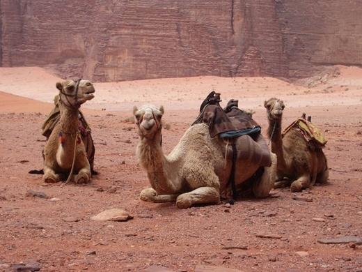 Những con lạc đà có tận 3 mí mắt để giúp chúng giúp bảo vệ lạc đà khỏi những cơn bão hay gió cát ở vùng sa mạc.