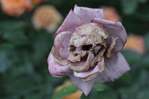 1. Bông hồng này có thể biết được những bí mật của bạn...Và chúng đang lên kế hoạch để chống lại bạn.