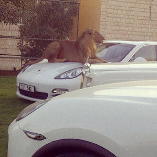 Sư tử là bạn của mọi nhà.