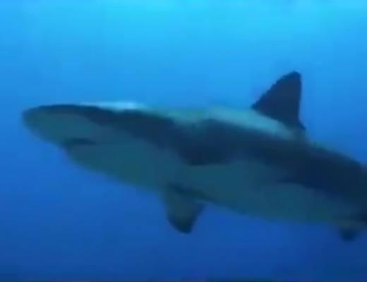 Cá mập chuẩn bị tấn công chú chó.